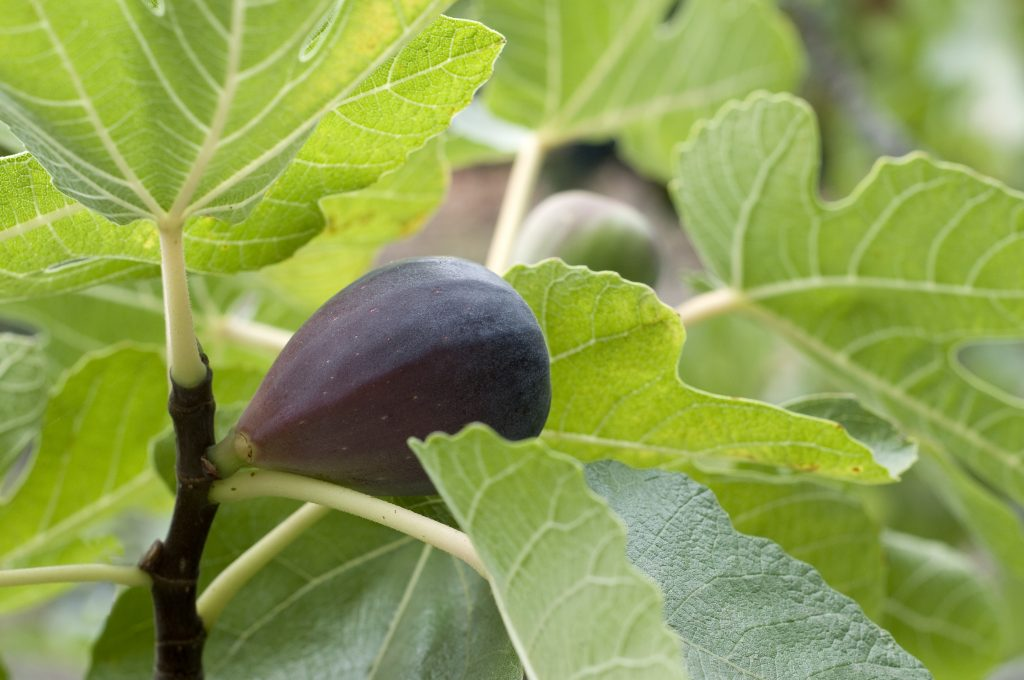 Fig Tree Black Spanish Restoring Eden
