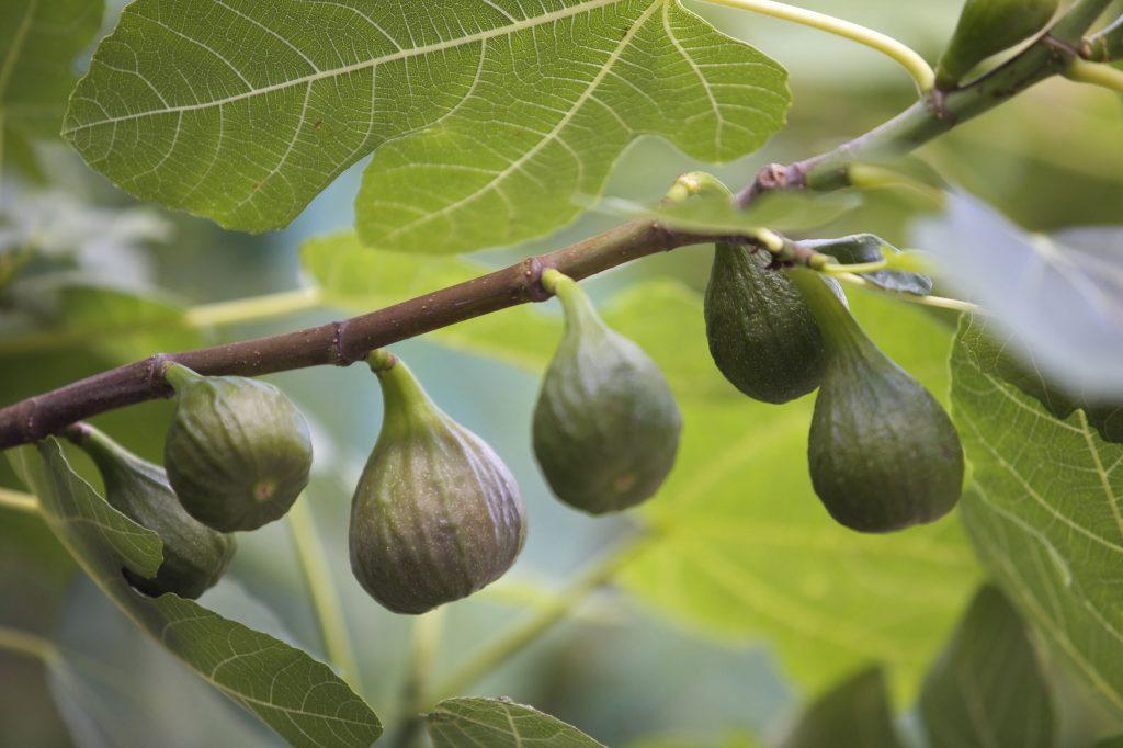 Fig Tree Chicago Hardy Restoring Eden