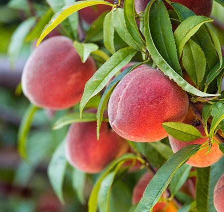 Peach Tree Red Haven Restoring Eden